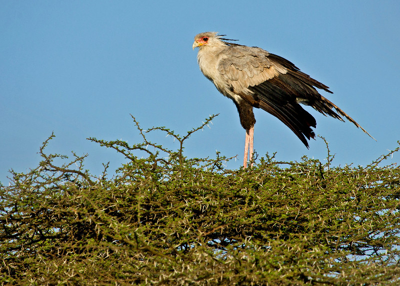 large_Secretary_Bird_5.jpg