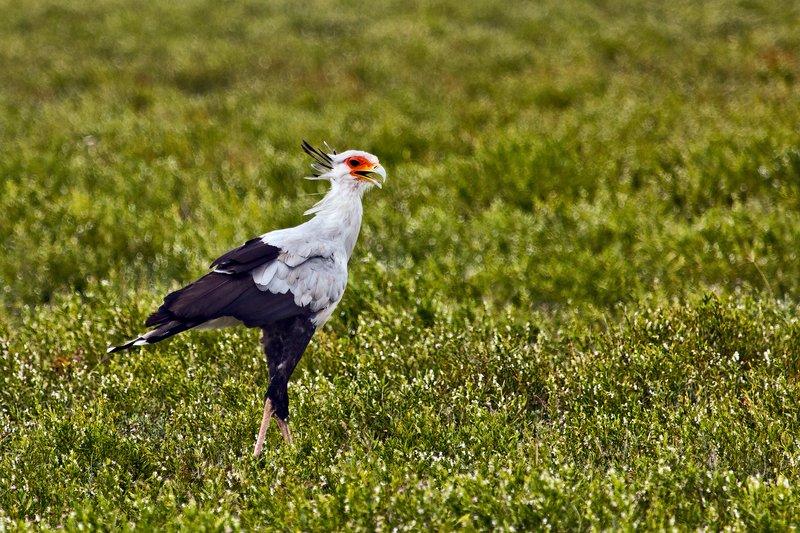 large_Secretary_Bird_7-1.jpg