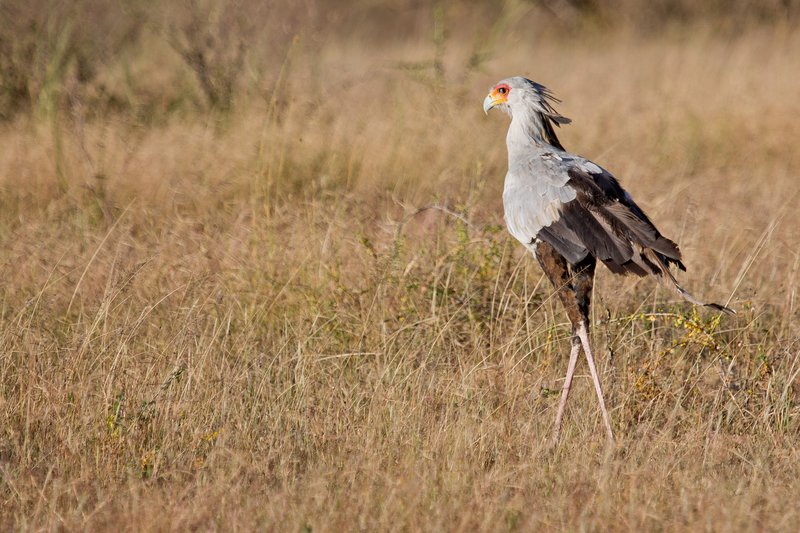 large_Secretary_Bird_9-1.jpg