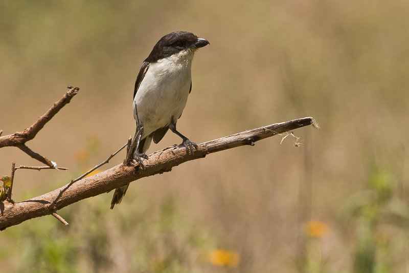 large_Shrike__Common_Fiscal_1.jpg