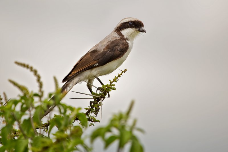 large_Shrike__Grey_Backed_11-1.jpg