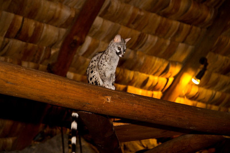 large_Small_Spotted_Genet_1.jpg