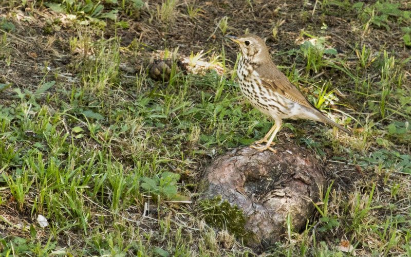 large_Song_Thrush_1.jpg