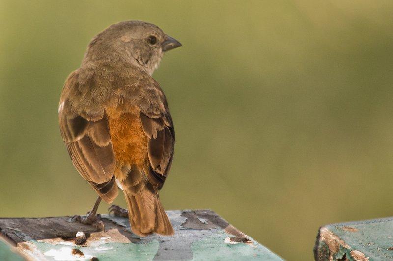 large_Sparrow__Grey_Headed_10-1.jpg