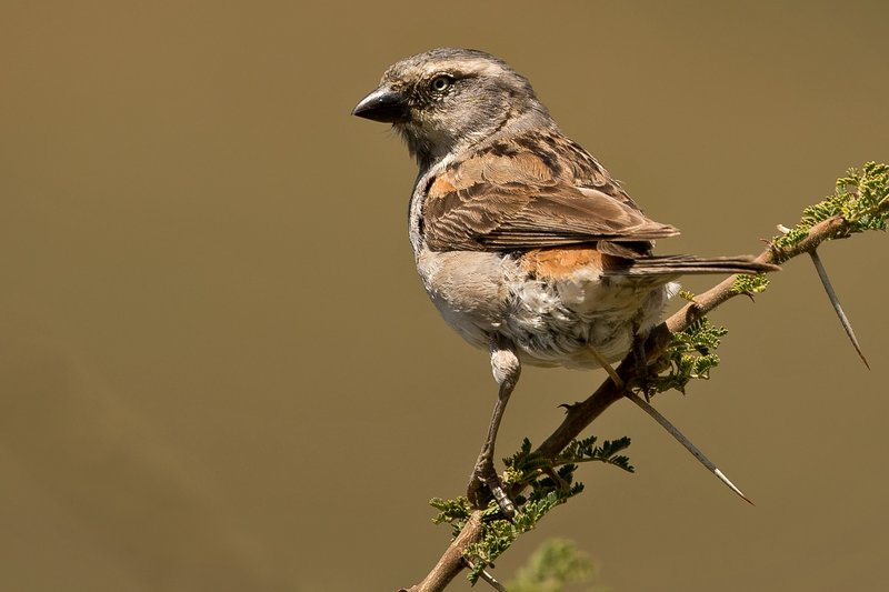 large_Sparrow__Rufous_2.jpg
