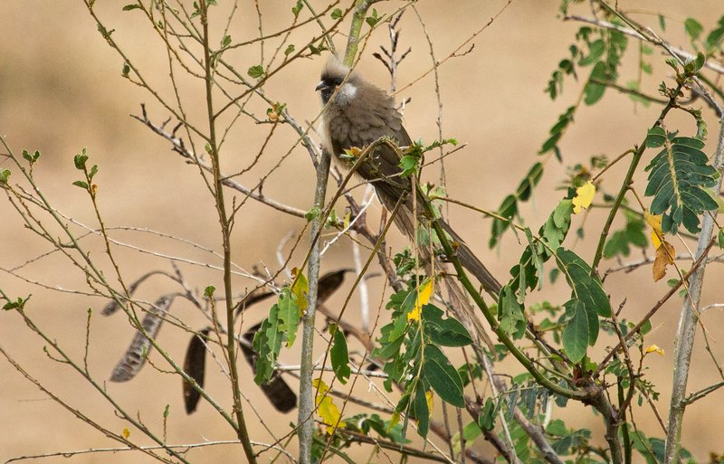large_Speckled_Mousebird_21.jpg