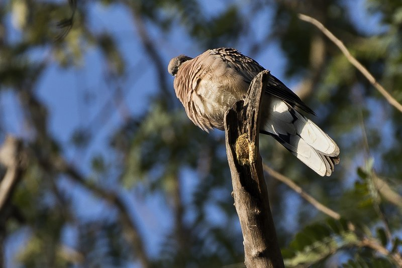 large_Spotted_Dove_51.jpg