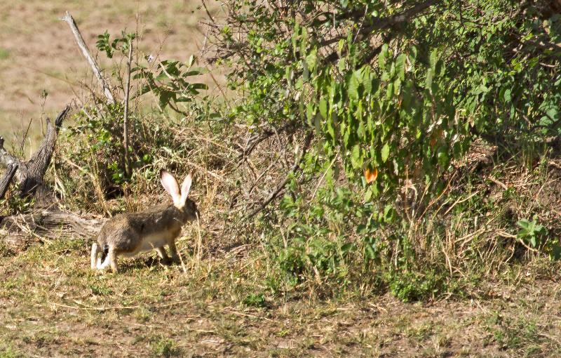 large_Spring_Hare_71.jpg