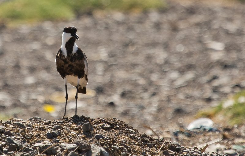 large_Spur_Winged_Lapwing_1.jpg