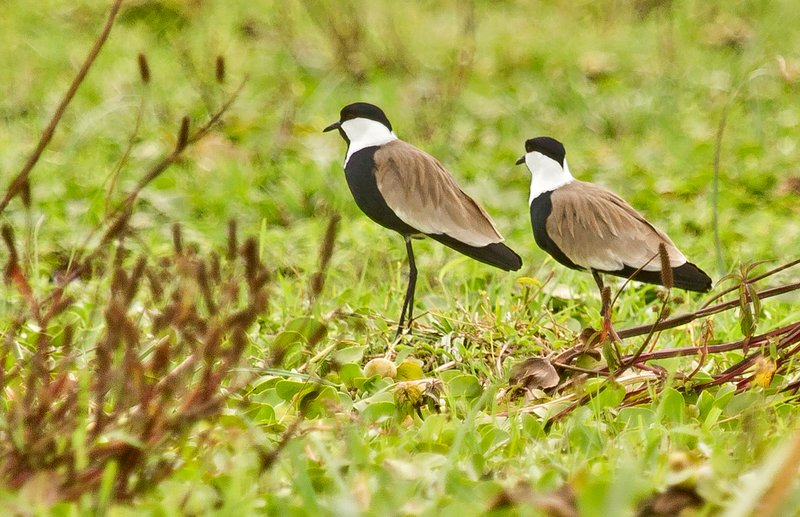 large_Spur_Winged_Lapwing_33.jpg