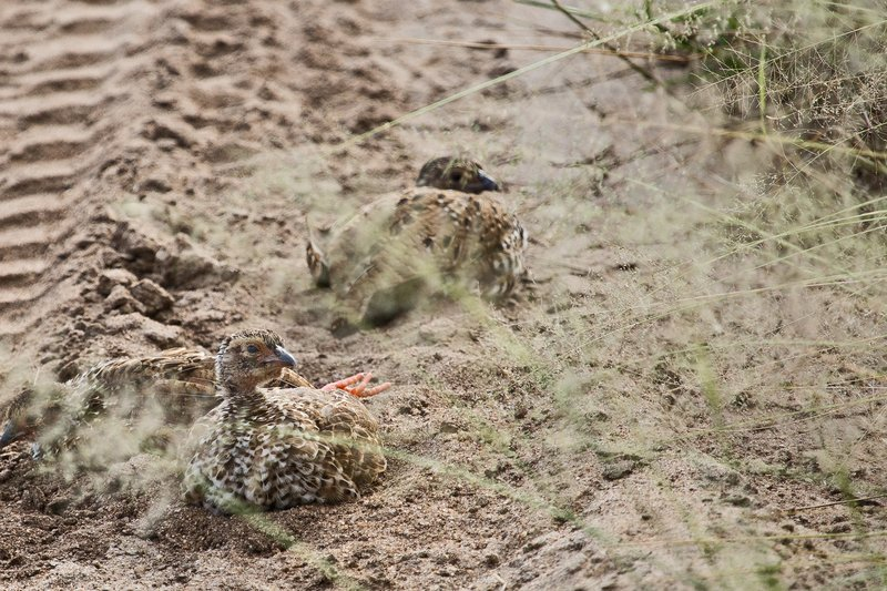 large_Spurfowl__.._Chicks_5-1.jpg