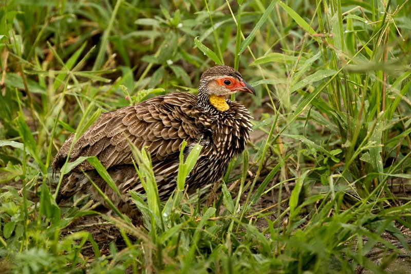 large_Spurfowl__..w_Necked_71.jpg