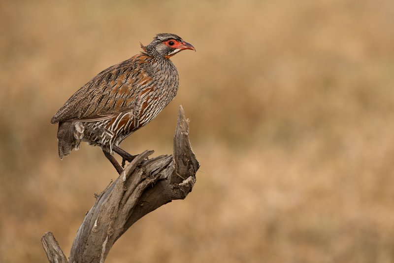 large_Spurfowl__Red_Necked_1.jpg