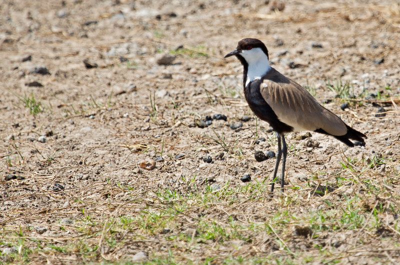 large_Spurwinged_Lapwing_1.jpg