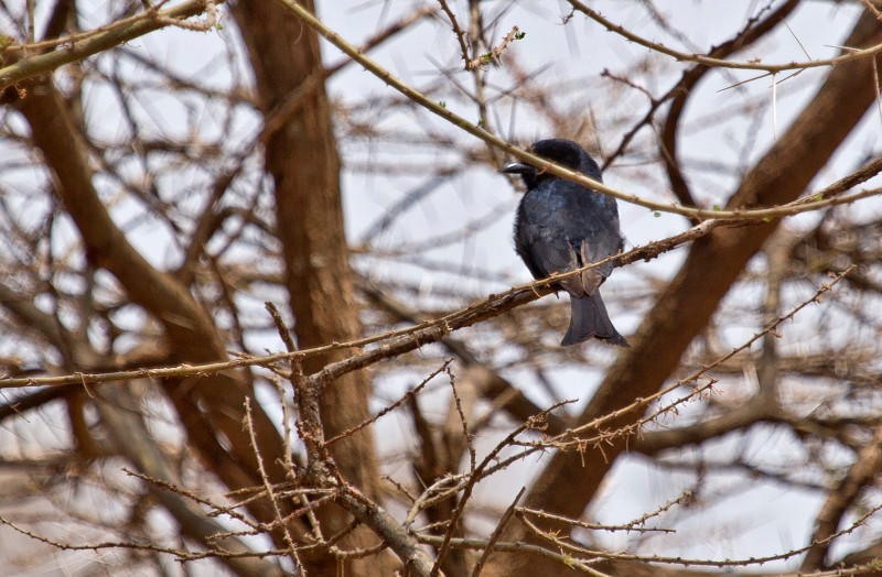 large_Square_Tailed_Drongo_1.jpg