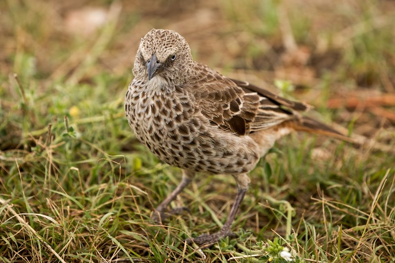 large_Starling__Ashy_1.jpg
