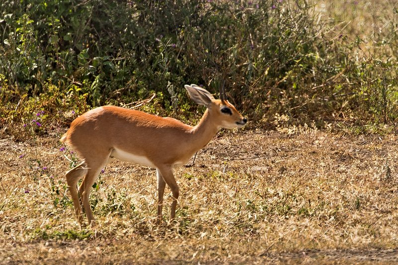 large_Steenbok_31.jpg