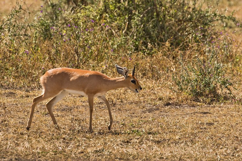 large_Steenbok_32.jpg