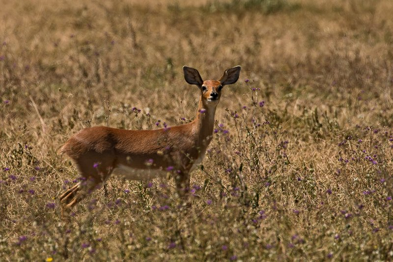 large_Steenbok_41.jpg