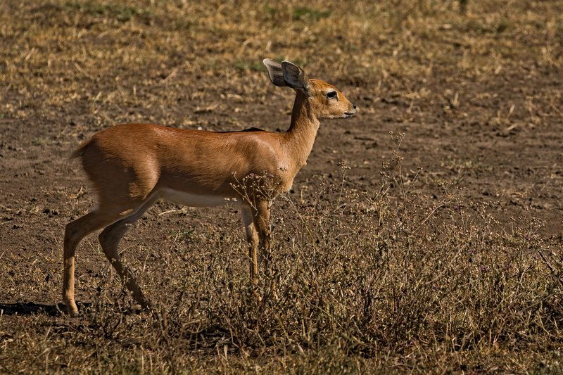 large_Steenbok_75.jpg