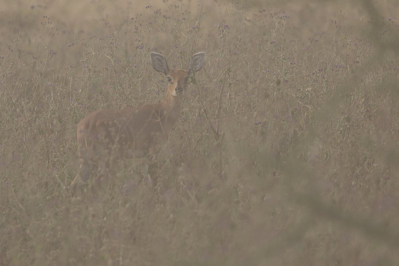 large_Steenbok_in_the_Dust_1.jpg