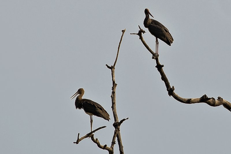 large_Stork__Black_1.jpg