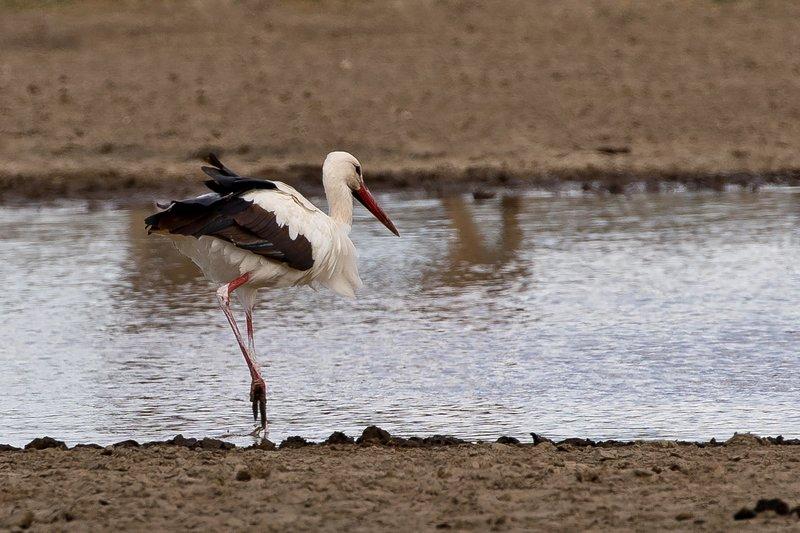 large_Stork__European_White_1.jpg