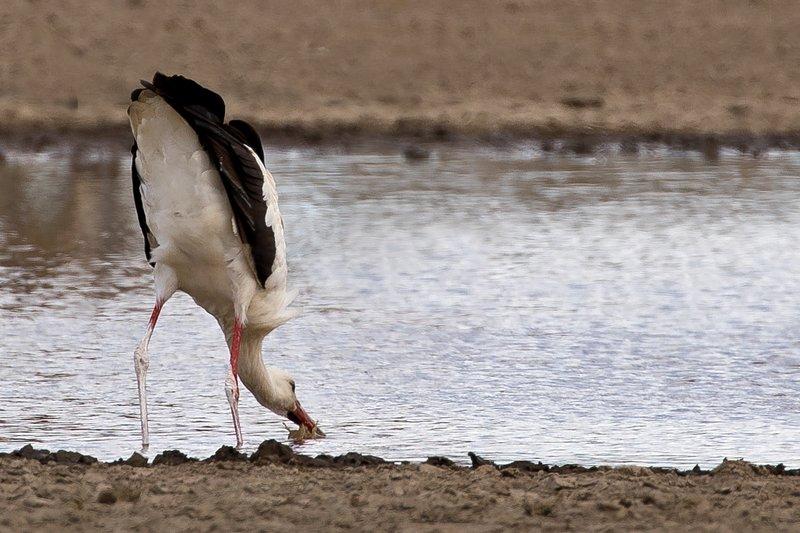 large_Stork__European_White_3.jpg