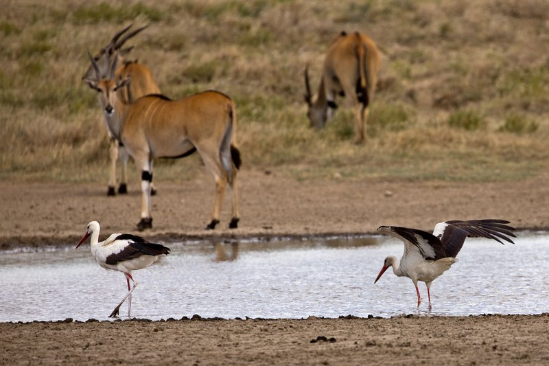 large_Stork__European_White_5.jpg