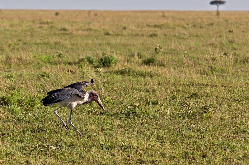 large_Stork__Marabou_10-3.jpg