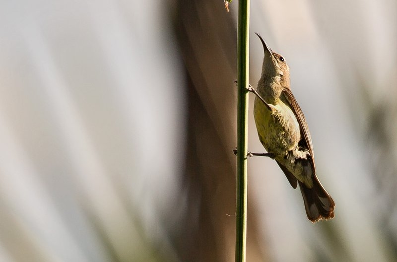 large_Sunbird__B..__Female__2.jpg