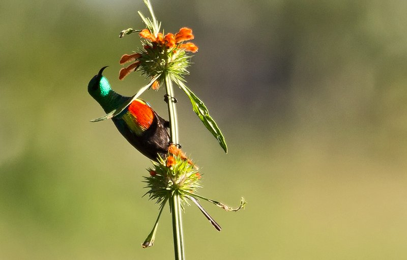 large_Sunbird__Beautiful_4.jpg