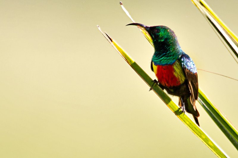large_Sunbird__Beautiful_5.jpg