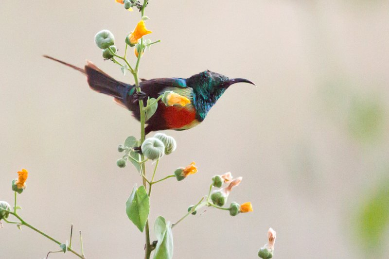large_Sunbird__Beautiful_9-3.jpg