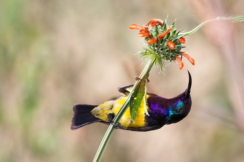 large_Sunbird__Variable_8-8.jpg
