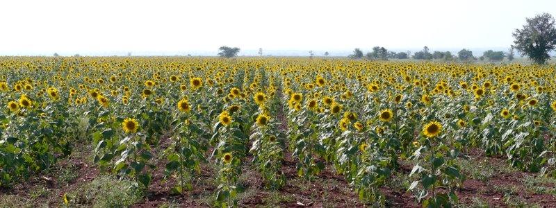 large_Sunflowers.jpg