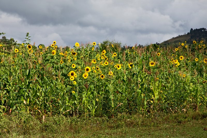 large_Sunflowers_6-11.jpg