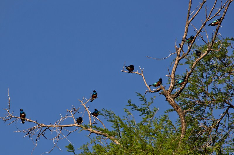 large_Superb_Starlings_41.jpg
