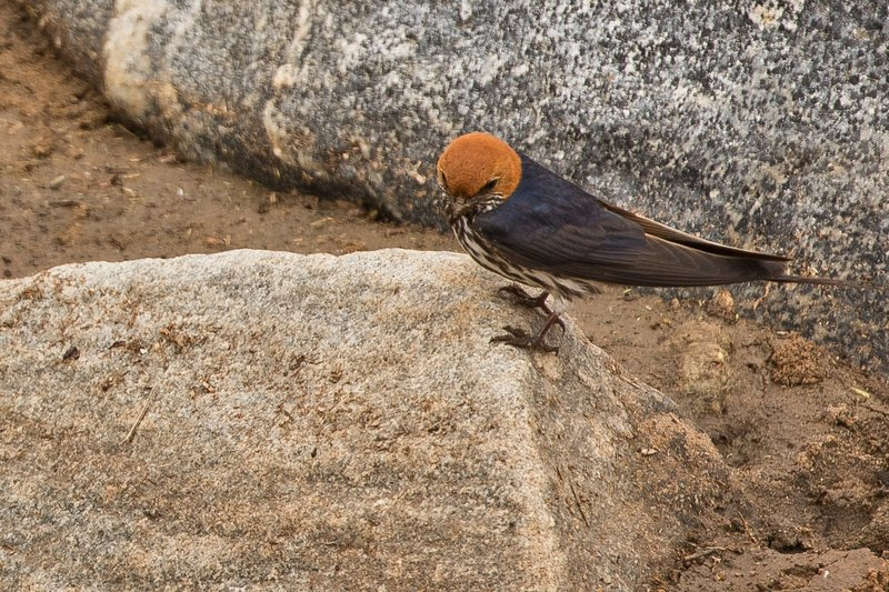 large_Swallow__Lesser_Striped_2.jpg