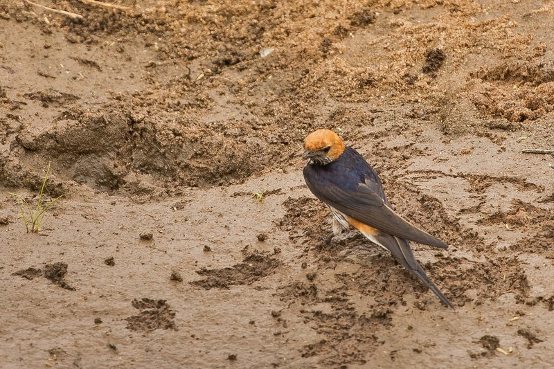 large_Swallow__Lesser_Striped_4.jpg