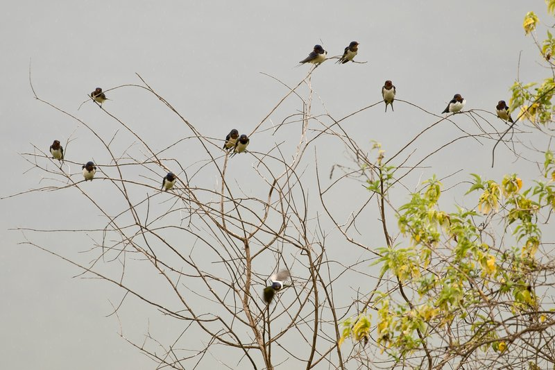large_Swallows__Wire_Tailed_1.jpg