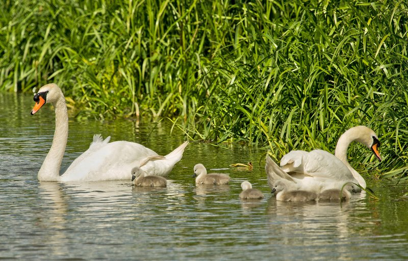 large_Swan_Family_1.jpg