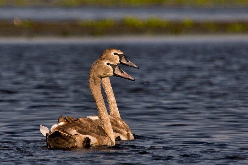 large_Swans_4.jpg