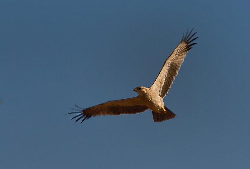 large_Tawny_Eagle_21.jpg