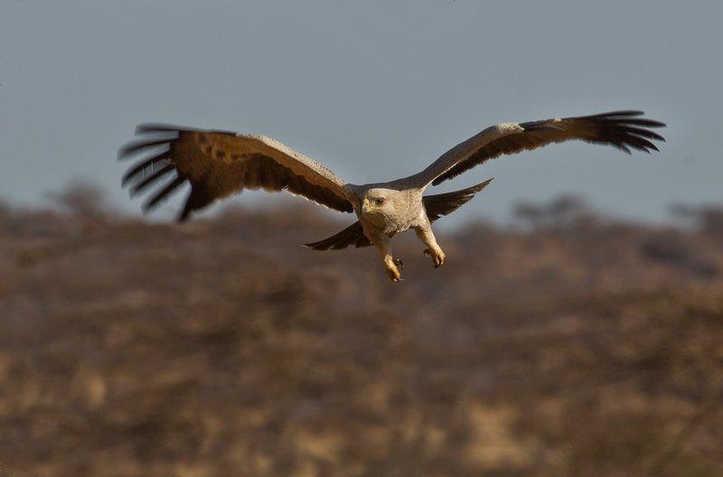 large_Tawny_Eagle_30.jpg