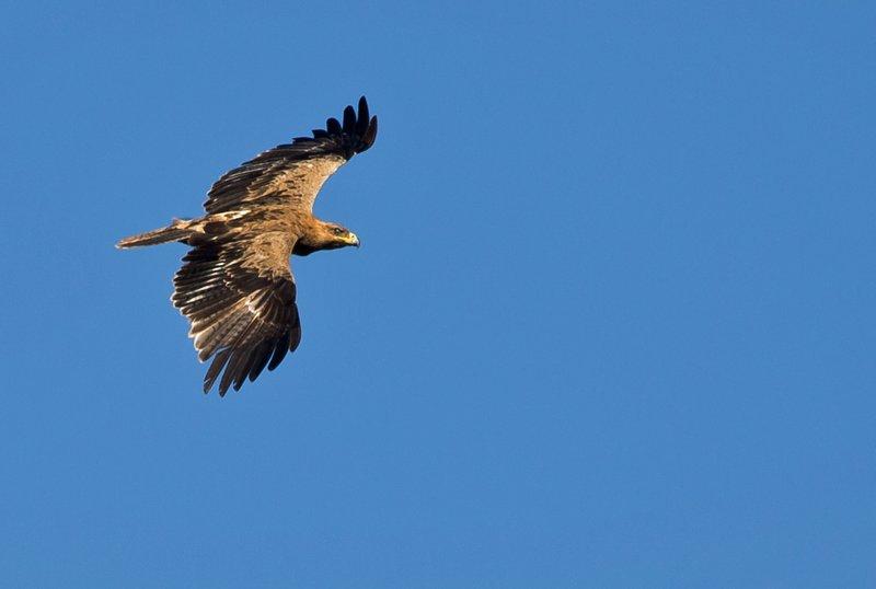 large_Tawny_Eagle_54.jpg