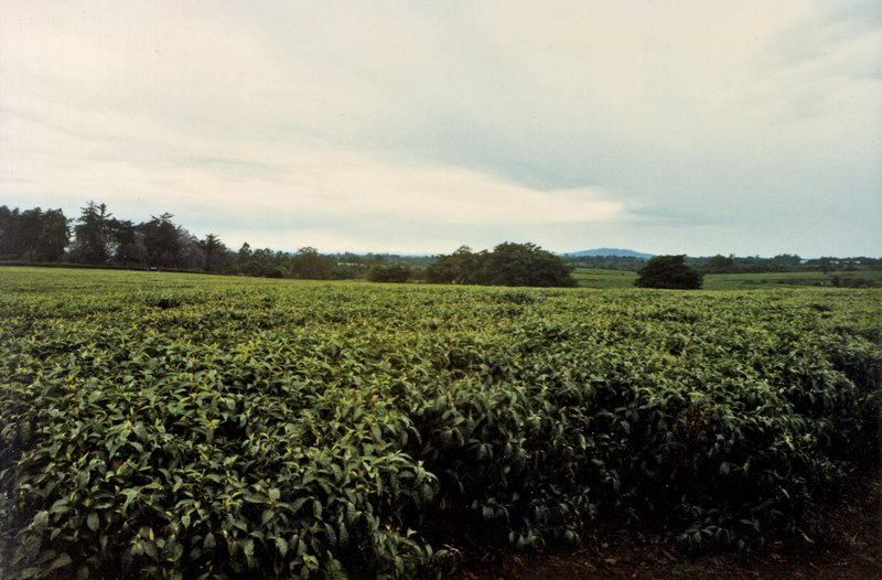 large_Tea_Plantation___038.jpg