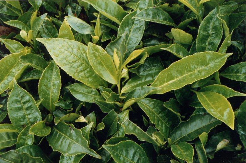 large_Tea_Plantation___039.jpg