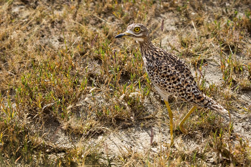 large_Thick_Knee__Spotted_8-2.jpg