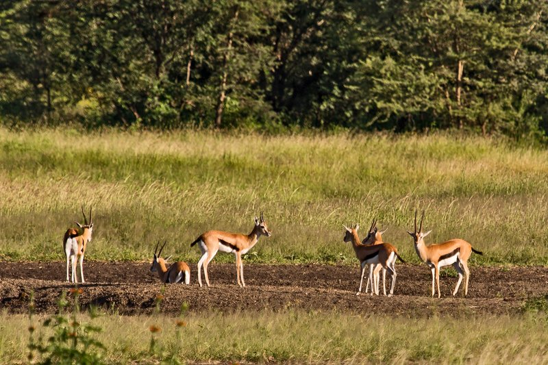 large_Thomson_s_Gazelles_6-1.jpg
